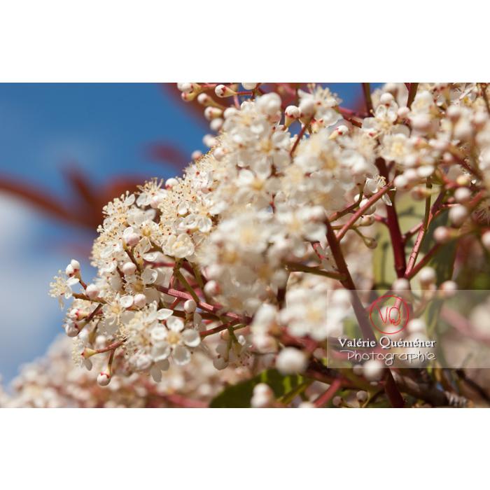 Photinie en fleur (photinia sp) - Réf : VQF&J-2148 (Q1)