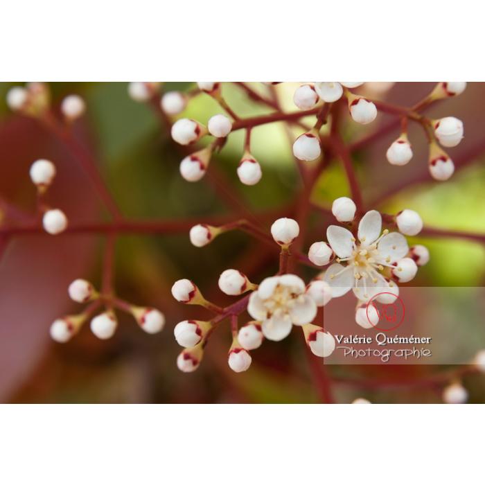 Fleur et boutons de Photinie (photinia sp) - Réf : VQF&J-2150 (Q1)