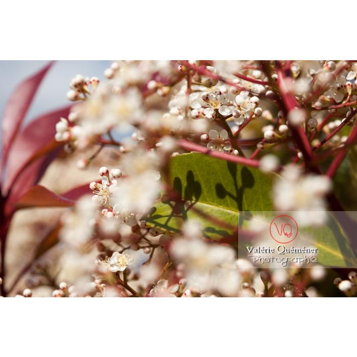 Fleurs de Photinie (photinia sp) - Réf : VQF&J-2151 (Q1)