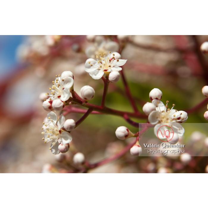 Fleurs blanches de Photinie (photinia sp) - Réf : VQF&J-2152 (Q1)