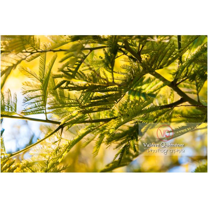 Feuille de mimosa dans un arbre / Occitanie / France - Réf : VQF&J-3069 (Q2)