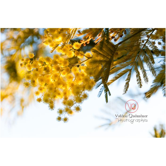 Fleurs dans l'arbre d'un mimosa / Occitanie / France - Réf : VQF&J-3071 (Q2)