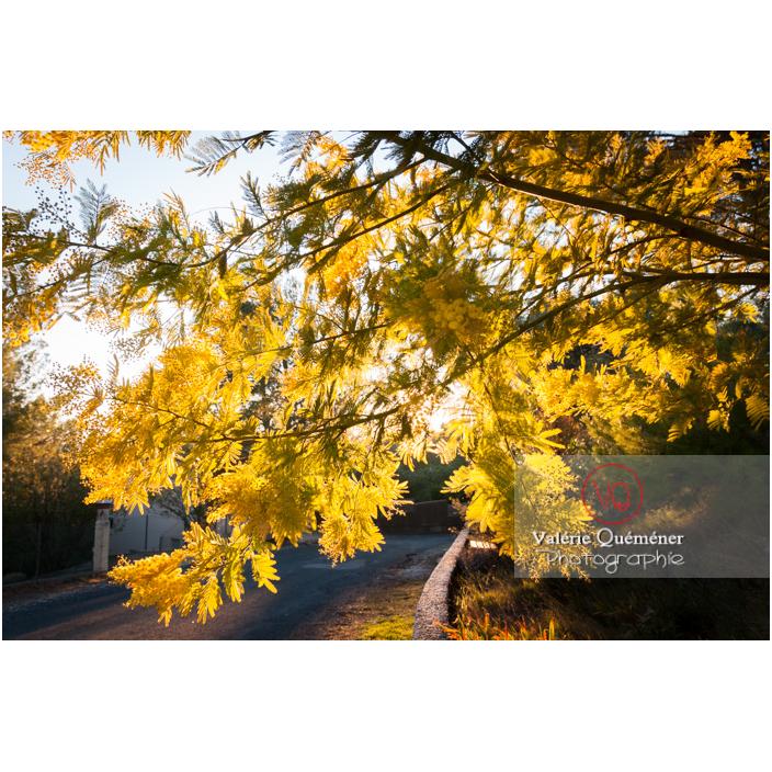 Branche de mimosa en fleur / Occitanie / France - Réf : VQF&J-3073 (Q2)