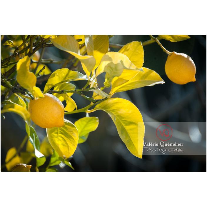 Deux gros citrons jaunes dans un citronnier - Réf : VQF&J-3092 (Q2)