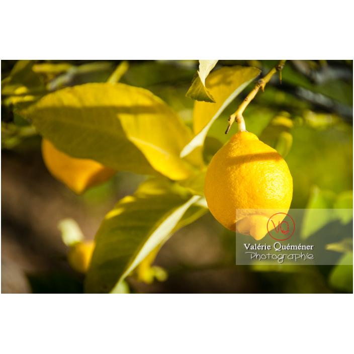 Un gros citron jaune sur une branche de citronnier - Réf : VQF&J-3093 (Q2)