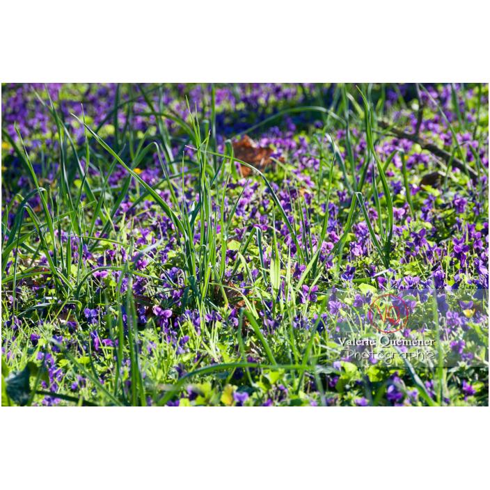 Tapis de fleurs de violette dans l'herbe - Réf : VQF&J-3104 (Q2)