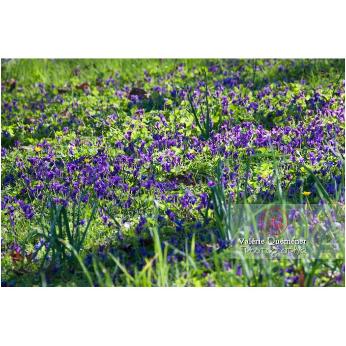 Tapis de fleurs de violette dans l'herbe - Réf : VQF&J-3106 (Q2)