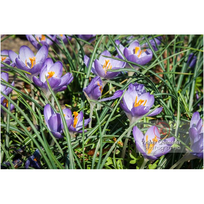 Parterre de crocus violet dans l'herbe - Réf : VQF&J-3166 (Q2)