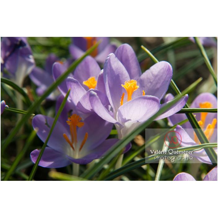 Gros plan d'un groupe de crocus violet - Réf : VQF&J-3198 (Q2)