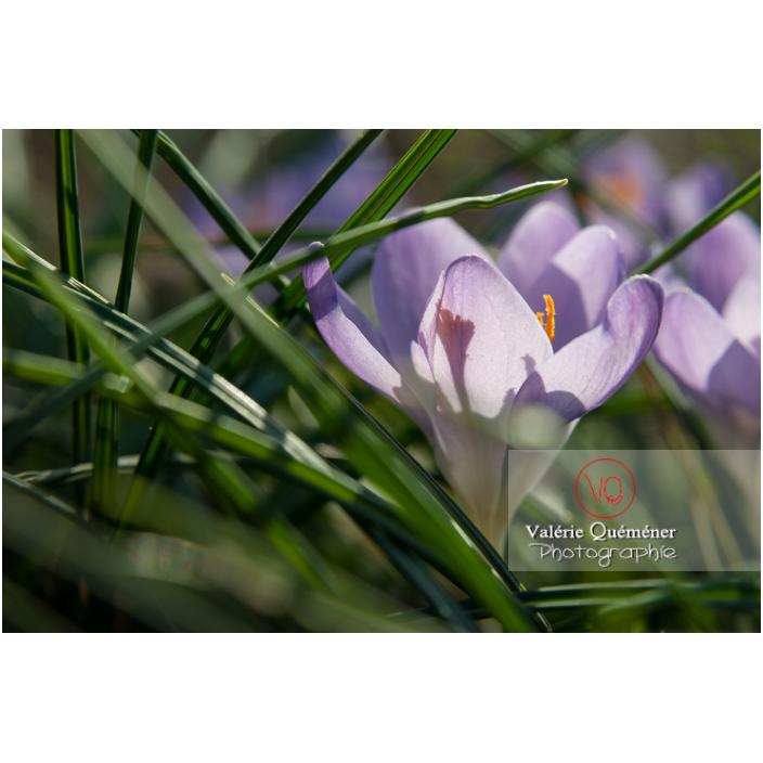 Crocus violet dans l'herbe en contre-jour - Réf : VQF&J-3200 (Q2)