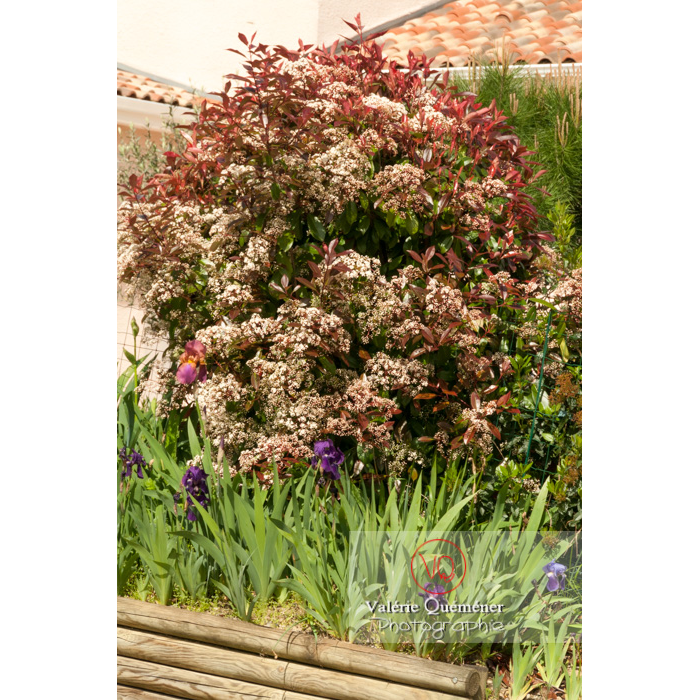 Photinie en fleur (photinia sp) - Réf : VQF&J-4270 (Q2)