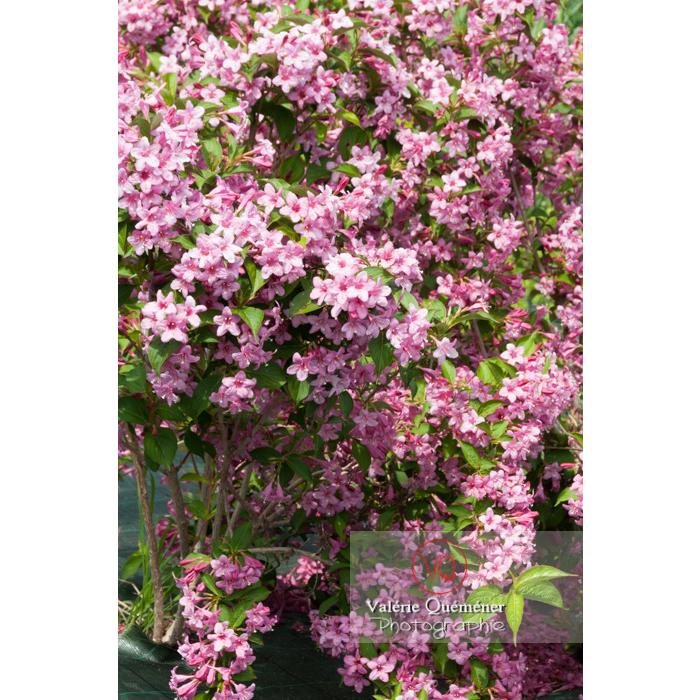 Fleurs de Weigelia (weigela sp) - Réf : VQF&J-4327 (Q2)