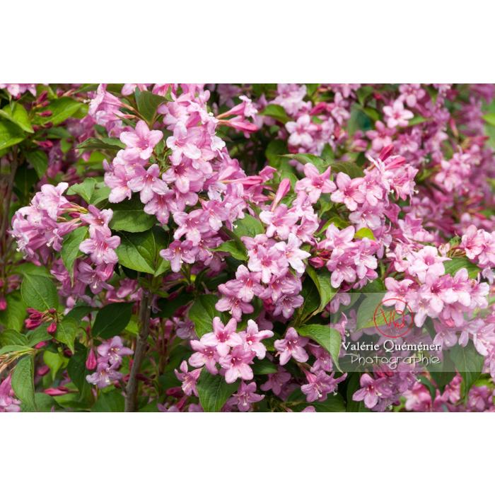 Fleurs de Weigelia (weigela sp) - Réf : VQF&J-4329 (Q2)