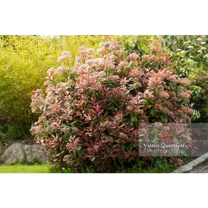 Photinie en fleur (photinia sp) - Réf : VQF&J-4333 (Q2)
