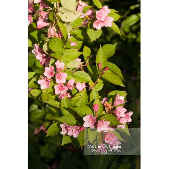 Fleurs  de Weigelia (weigela sp) - Réf : VQF&J-4593 (Q2)