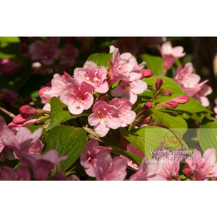 Fleurs de Weigelia (weigela sp) - Réf : VQF&J-4594 (Q2)