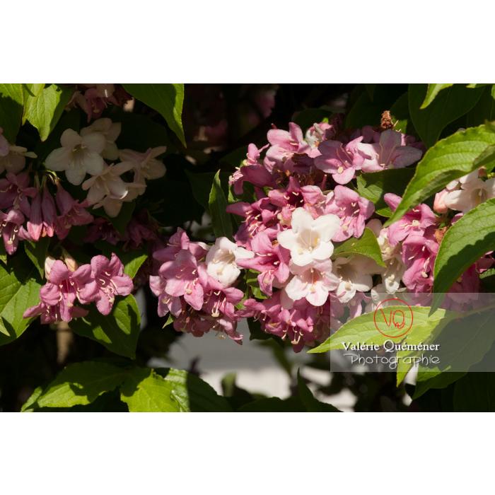 Fleurs de Weigelia (weigela sp) - Réf : VQF&J-4607 (Q2)