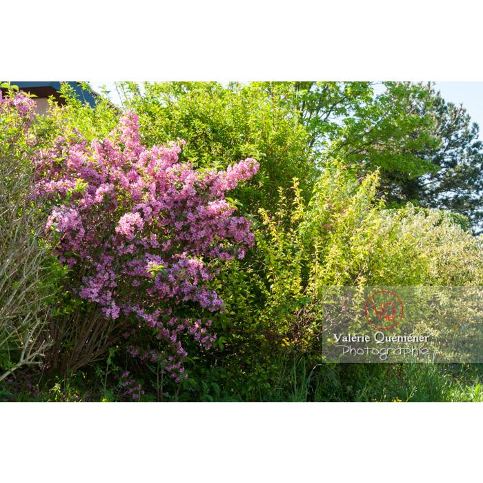 Weigelia en fleur (weigela sp) - Réf : VQF&J-4640 (Q2)
