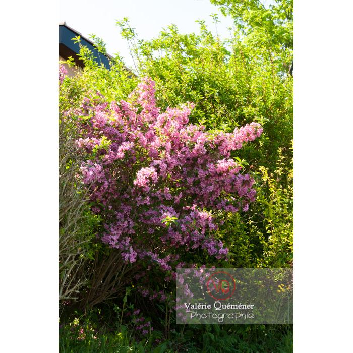 Weigelia en fleur (weigela sp) - Réf : VQF&J-4641 (Q2)