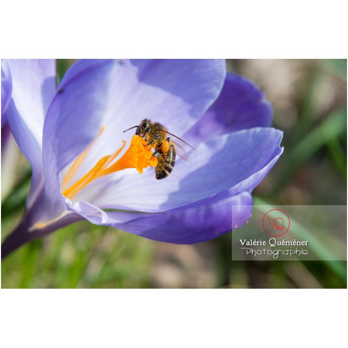 Abeille de profil avec boule de pollen aux pattes, butinant un pistil de crocus violet - Réf : VQF&J-8072 (Q2)