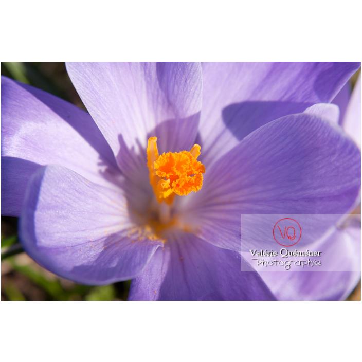Gros plan d'un pistil de fleur de crocus violet vue de-dessus - Réf : VQF&J-8081 (Q2)