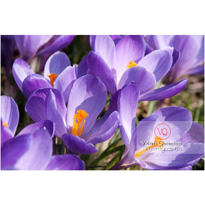 Gros plan d'un parterre de fleurs de crocus violet - Réf : VQF&J-8083 (Q3)