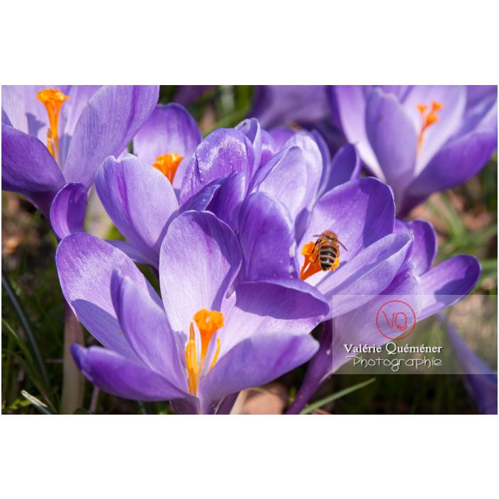 Abeille sur un parterre de fleurs de crocus violet - Réf : VQF&J-8084 (Q2)