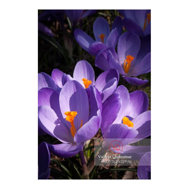Gros plan d'un parterre de fleurs de crocus violet - Réf : VQF&J-8086 (Q3)