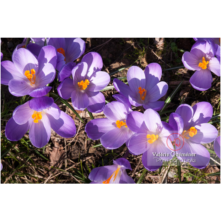 Parterre de fleurs de crocus violet - Réf : VQF&J-8087 (Q2)