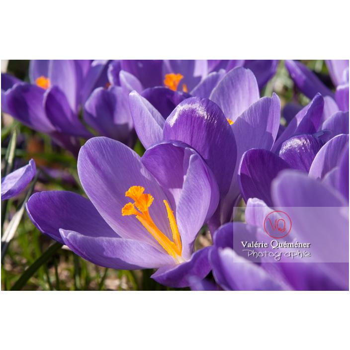 Gros plan d'un parterre de fleurs de crocus violet - Réf : VQF&J-8089 (Q2)