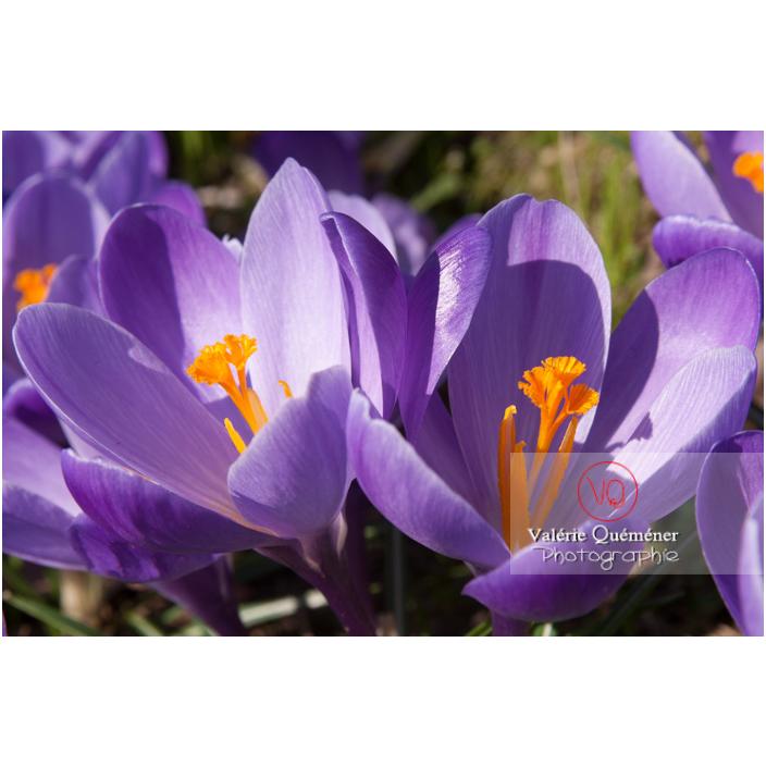 Gros plan de deux fleurs de crocus violet - Réf : VQF&J-8090 (Q2)