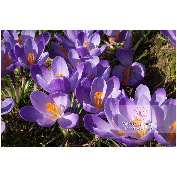 Parterre de fleurs de crocus violet - Réf : VQF&J-8092 (Q2)