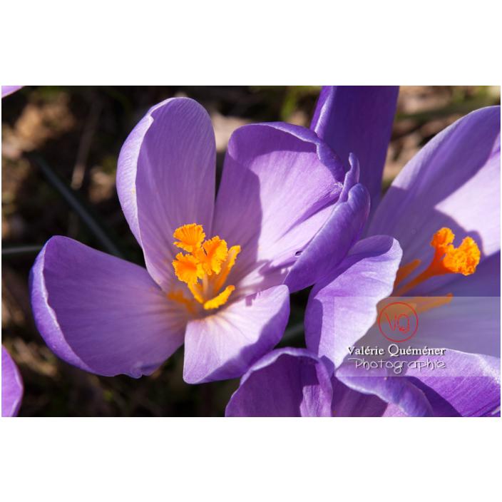 Gros plan de fleurs de crocus violet - Réf : VQF&J-8095 (Q2)