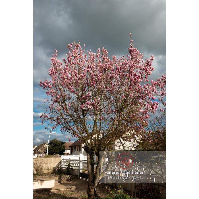 Magnolia aux fleurs de couleur rose presque épanouies - Réf : VQF&J-9523 (Q3)