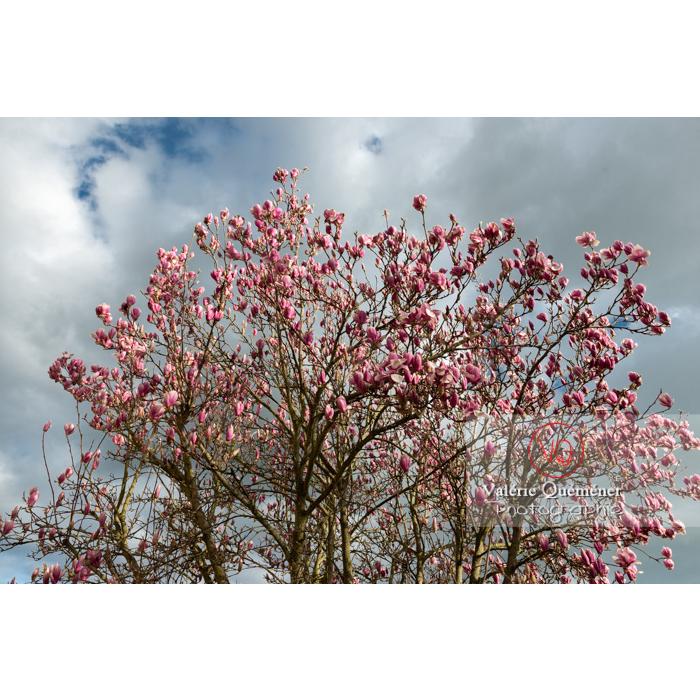 Fleurs roses de magnolia presque épanouies - Réf : VQF&J-9525 (Q3)