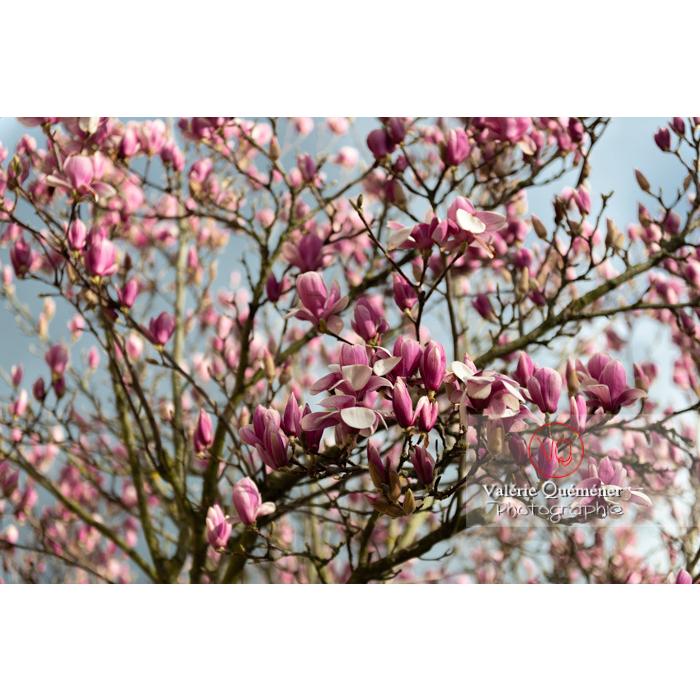Fleurs roses de magnolia presque épanouies - Réf : VQF&J-9526 (Q3)