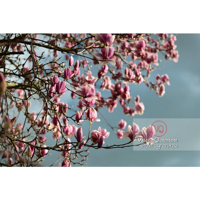 Fleurs roses de magnolia presque épanouies - Réf : VQF&J-9529 (Q3)