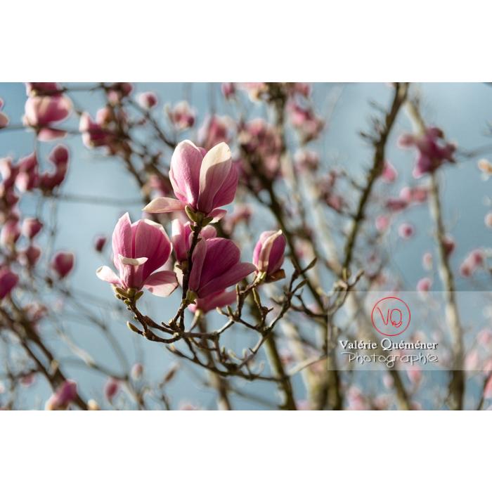 Fleurs roses de magnolia presque épanouies - Réf : VQF&J-9532 (Q3)
