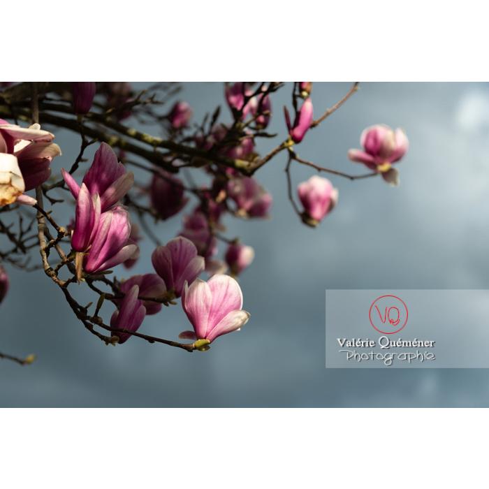 Fleurs roses de magnolia presque épanouies - Réf : VQF&J-9534 (Q3)