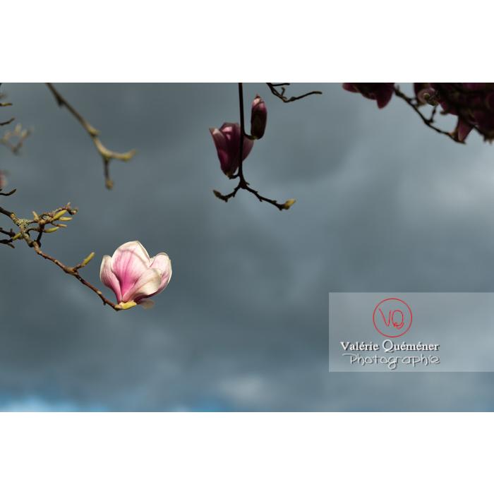Fleurs roses de magnolia - Réf : VQF&J-9535 (Q3)