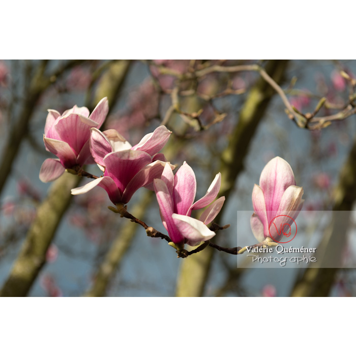 Fleurs roses de magnolia presque épanouies - Réf : VQF&J-9536 (Q3)