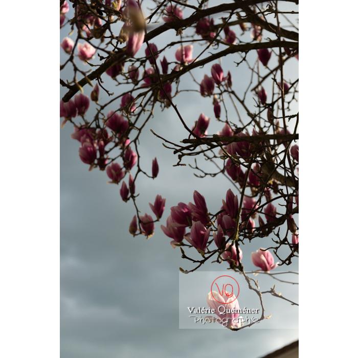 Fleurs roses de magnolia presque épanouies - Réf : VQF&J-9539 (Q3)