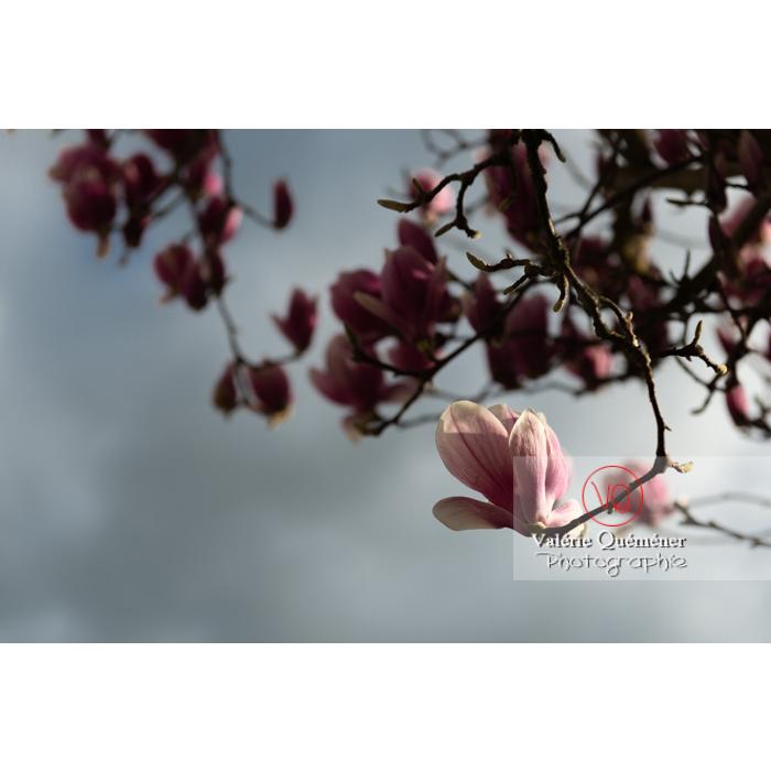 Fleurs roses de magnolia presque épanouies - Réf : VQF&J-9540 (Q3)