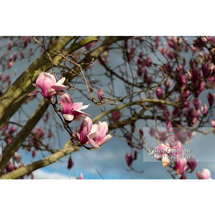 Fleurs roses de magnolia - Réf : VQF&J-9545 (Q3)