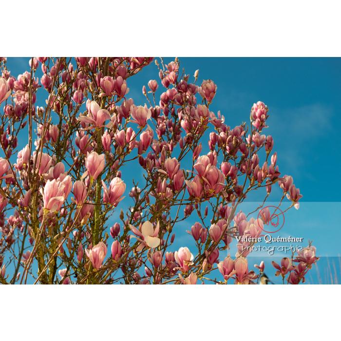 Fleurs roses de magnolia pas complètement épanouies - Réf : VQF&J-9550 (Q3)