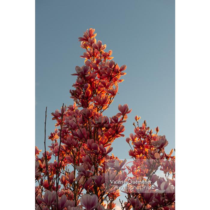 Branche de magnolia aux fleurs roses au coucher du soleil - Réf : VQF&J-9557 (Q3)