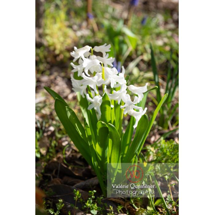 Fleur de jacinthe blanche - Réf : VQF&J-9562 (Q3)