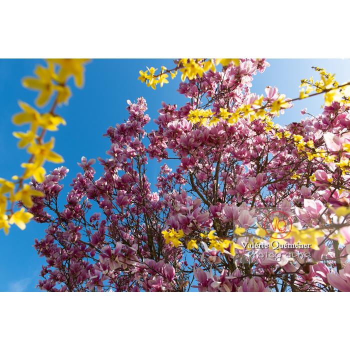 Fleurs roses de magnolia et banches de forsythia en fleur - Réf : VQF&J-9563 (Q3)