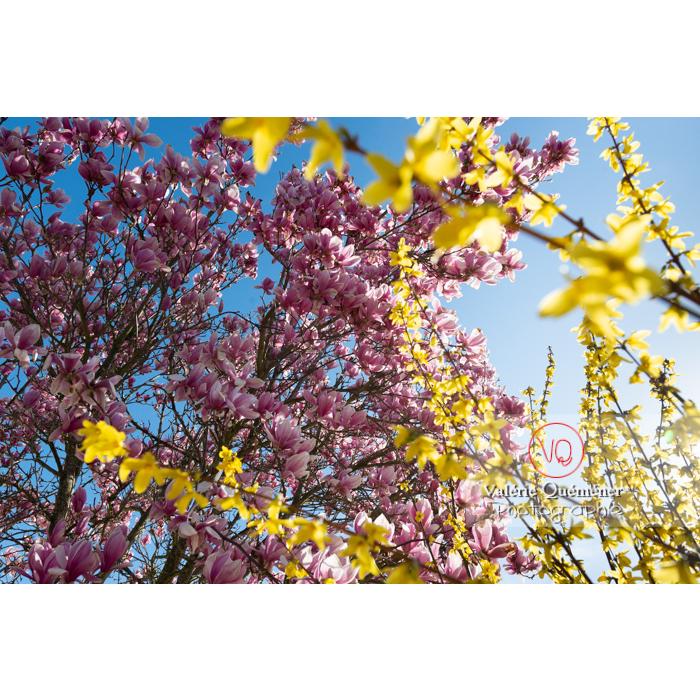 Fleurs roses de magnolia et branches de genêt en fleur - Réf : VQF&J-9564 (Q3)