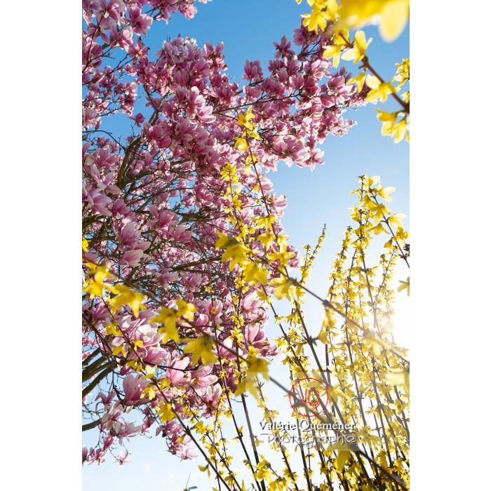 Fleurs roses de magnolia et branches de genêt en fleur - Réf : VQF&J-9565 (Q3)